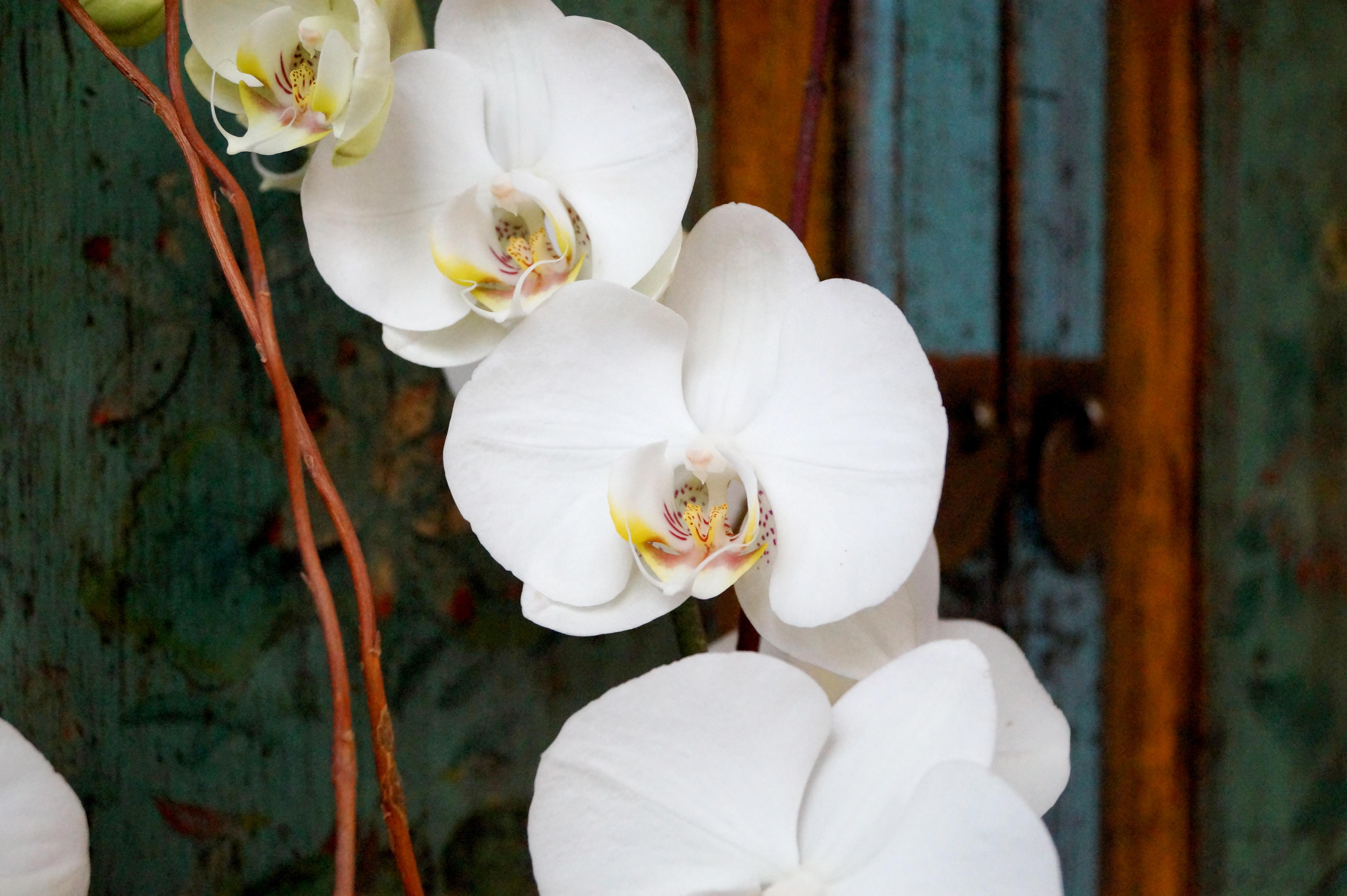 orquidea-blanca-4