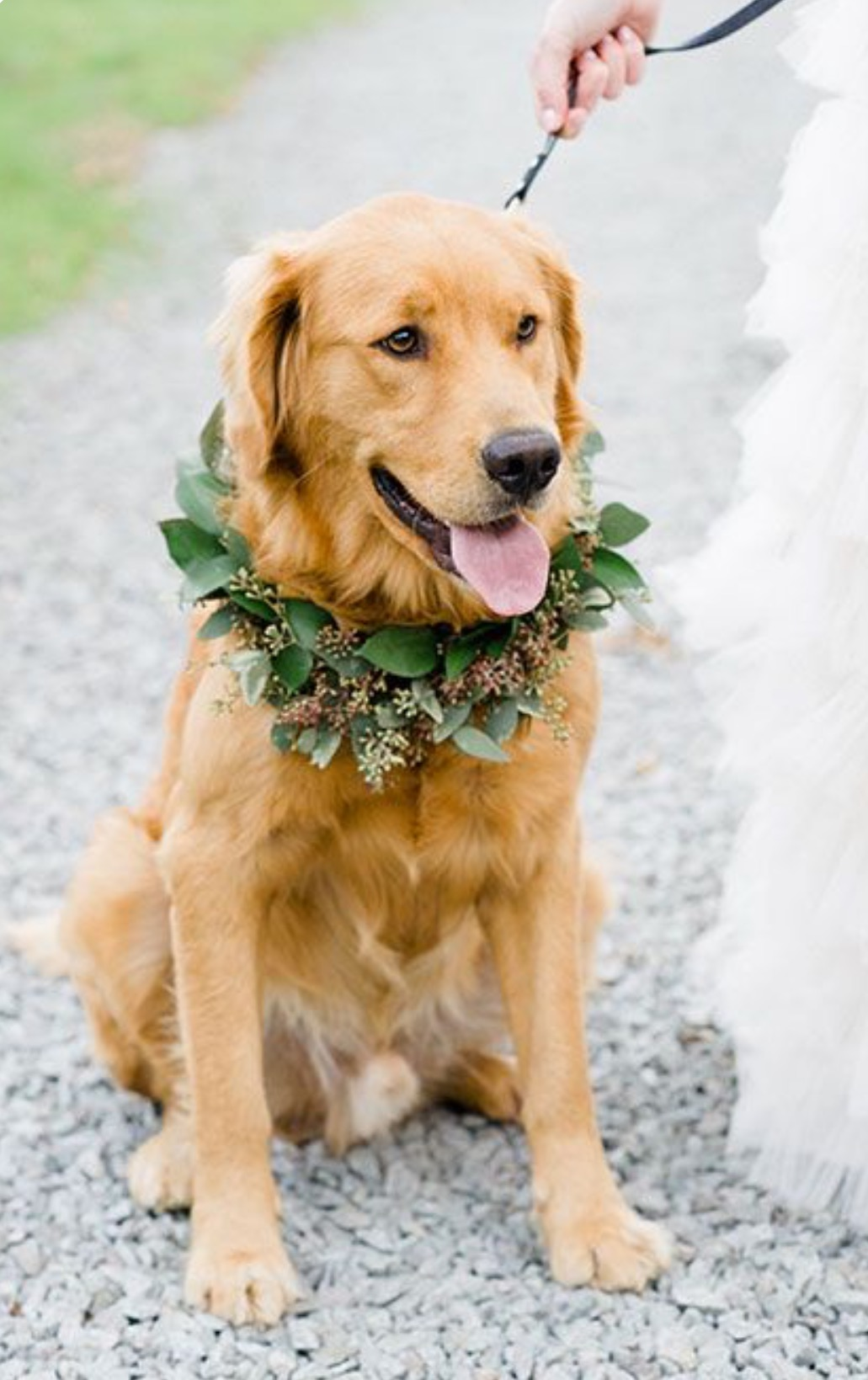 Perro labrador boda